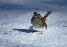 Snow sparrow. White throated sparrow in snow stock photography