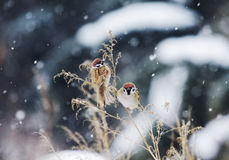 Snow sparrow Stock Photos