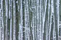 Snow splashed tree trunks in winter forest as background. Snow covered tree trunks in winter forest as background. Abstract striped pattern Stock Image