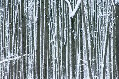 Snow splashed tree trunks in winter forest as background. Snow covered tree trunks in winter forest as background. Abstract striped pattern Royalty Free Stock Image