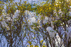 Snow in spring. Spring leaves and buds with snow Royalty Free Stock Photos