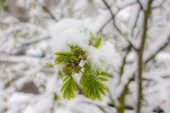 Snow on spring leaves Royalty Free Stock Photos