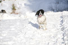 Snow Springer 1. English Springer Spaniel running in the snow on a sunny winter day stock image