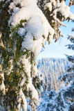 Snow on spruce branches Royalty Free Stock Image