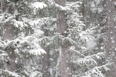 Snow and Spruce Royalty Free Stock Images