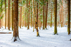 Snow in the spruce forest Stock Photography