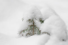 Snow spruce Stock Photo