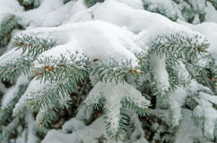 Snow on spruce Stock Photography