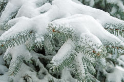 Snow on spruce Royalty Free Stock Images