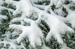 Snow on spruce Stock Images