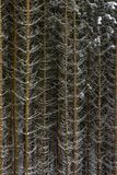 Snow on spruce tree branches in the woods on a grey and cold win stock photography