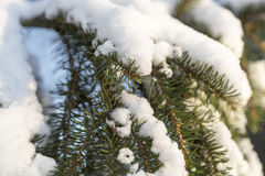 Snow on Spruce Twigs Royalty Free Stock Photography