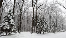 Snow on spruces in park - winter royalty free stock photo