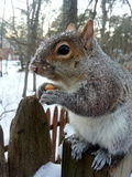 Snow squirrel. Sitting squirrel on the fence with snow on her head Royalty Free Stock Images