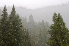 Snow Storm. Snow falling up in the forest in the mountains Royalty Free Stock Image