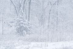 Snow storm and forest Stock Photo