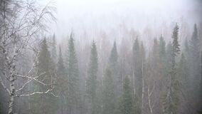 Snow storm in the forest forest. A strong wind, trees are swaying, snow is flying stock video