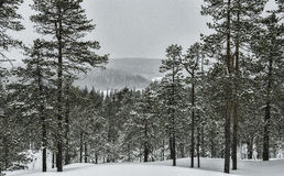Snow storm in a forest Royalty Free Stock Photos