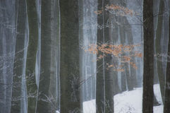 Snow storm in a forest in winter Stock Images