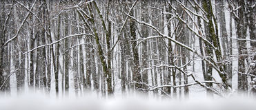 Snow storm in winter forest Royalty Free Stock Photo