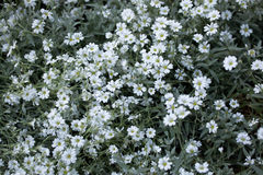 Snow-in-summer (Cerastium tomentosum). Royalty Free Stock Images