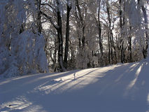 Snow and Sunlight (Bulgaria). Sunlight shinning through trees covered with snow Royalty Free Stock Image