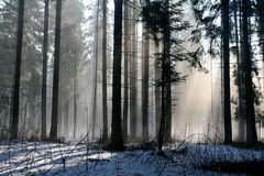 Snow and sunshine. In the big forest Stock Photography