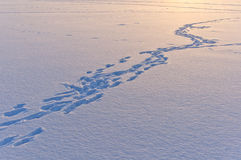 Snow surface texture with animal traces in evening Stock Photos