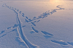 Snow surface texture with animal traces in evening Royalty Free Stock Image