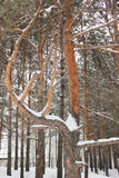 Snow-swept branches. Snow swept and curved pine branch Royalty Free Stock Photography