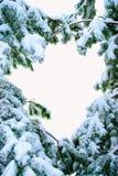 Snow täckt gran förgrena sig. Royaltyfri Fotografi