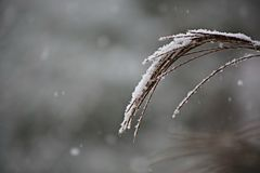 Snow on a tassle. From a bush Royalty Free Stock Image