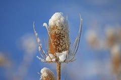 Snow on a Teasel Royalty Free Stock Photos