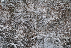Snow texture. Snow on plants texture background image Stock Photo