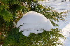 Snow on a Thuja Branch Royalty Free Stock Images