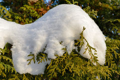 Snow on a Thuja Branch Royalty Free Stock Image