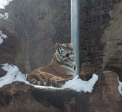 Snow Tiger. An adult tiger laying in the winter snow Royalty Free Stock Photos