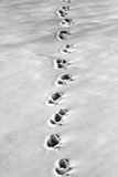 Snow Tracks. Animal tracks in the winter snow Stock Image