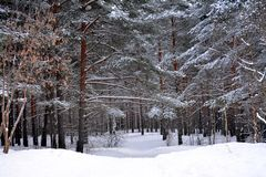 Snow trail in winter forest stock photography