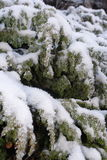 Snow tree. Pine tree under the snow Royalty Free Stock Photo