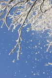 Snow on a tree. Snow falling from a tree Stock Photo
