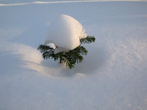 Snow tree. Little tree covered in snow stock photos