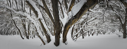 Snow Tree. Tree in the freshly fallen snow in Mt Buller, August in Australia Royalty Free Stock Photo
