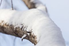 Snow on the tree against the blue sky.  Stock Photo