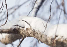 Snow on the tree against the blue sky.  Royalty Free Stock Image