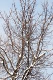 Snow on the tree against the blue sky.  Royalty Free Stock Photography