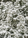 Snow Tree Background. Close up view of the branches of a tree covered with snow Stock Image