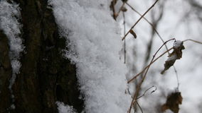 Snow on the Tree Bark. Very close up of snow on the tree bark in winter. Melting snow flakes stock video footage