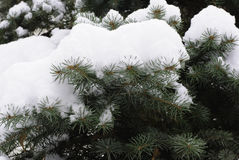 Snow tree branch Royalty Free Stock Photography