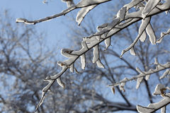 Snow on tree branch in sunny frosty winter day on blue sky Stock Photo